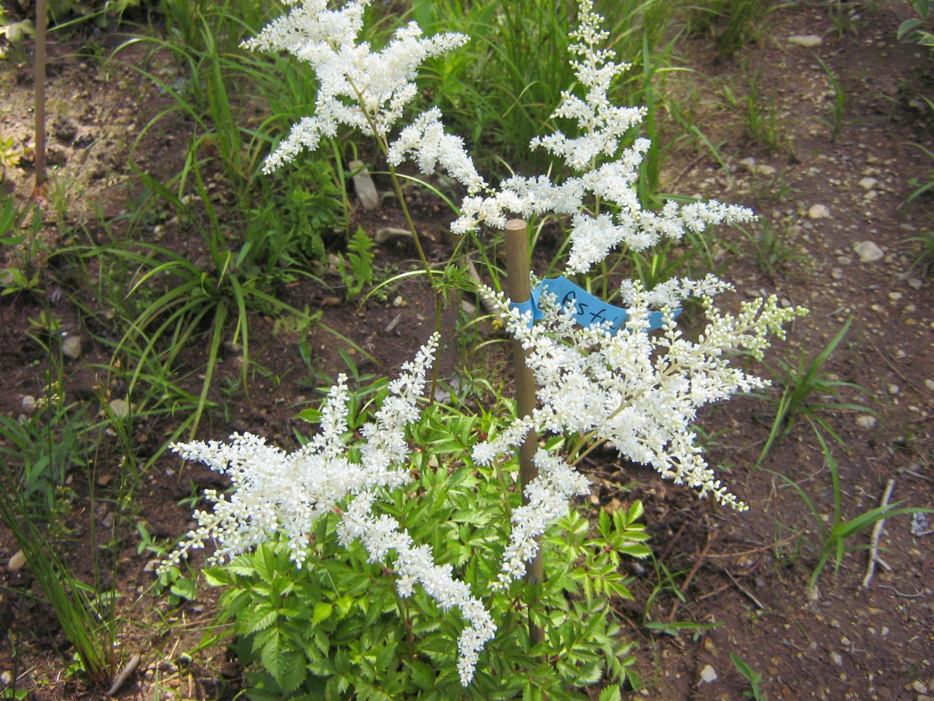 Astilbe Arendsii Rock & Roll