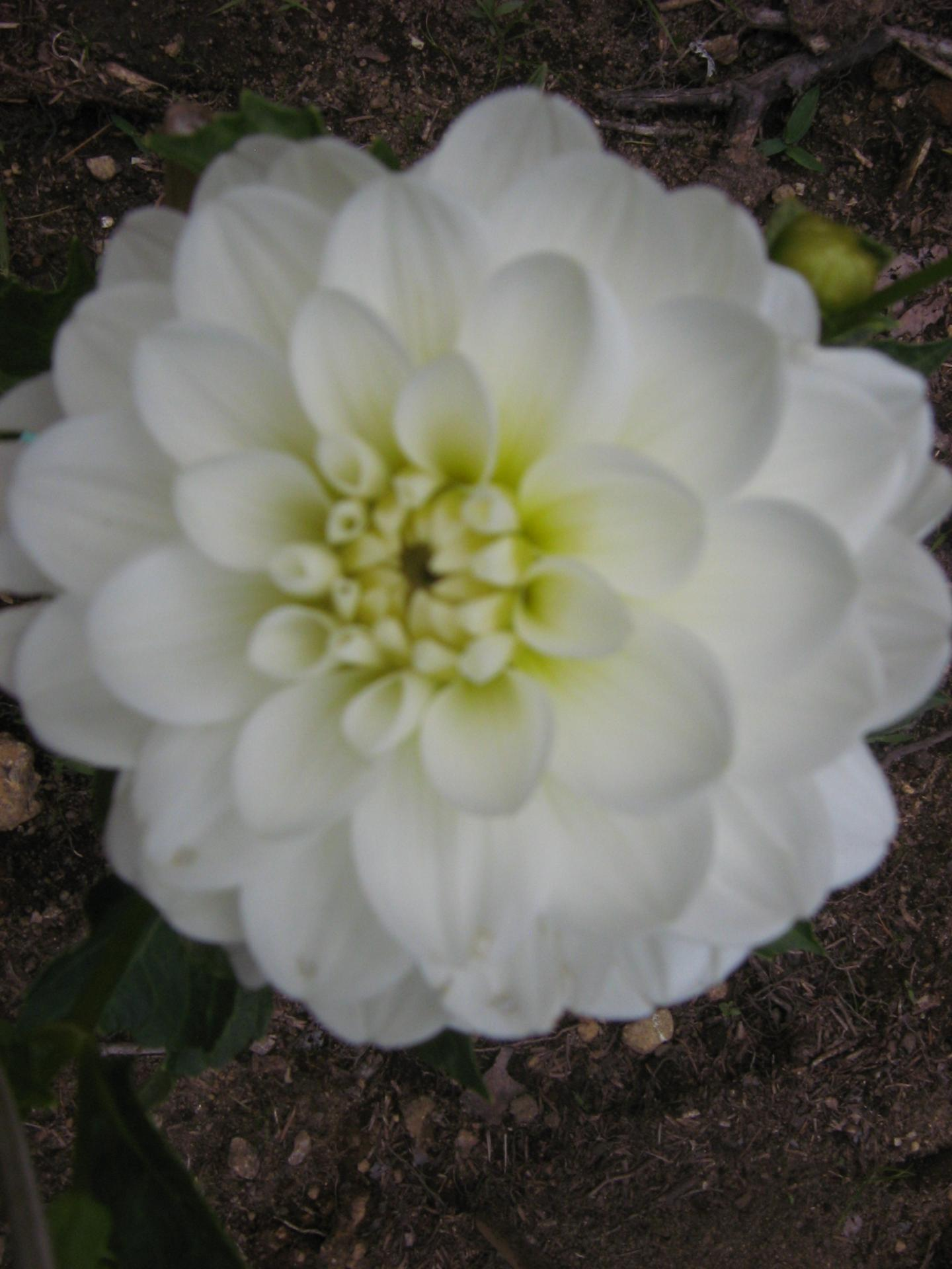 Dahlia Bride To Be