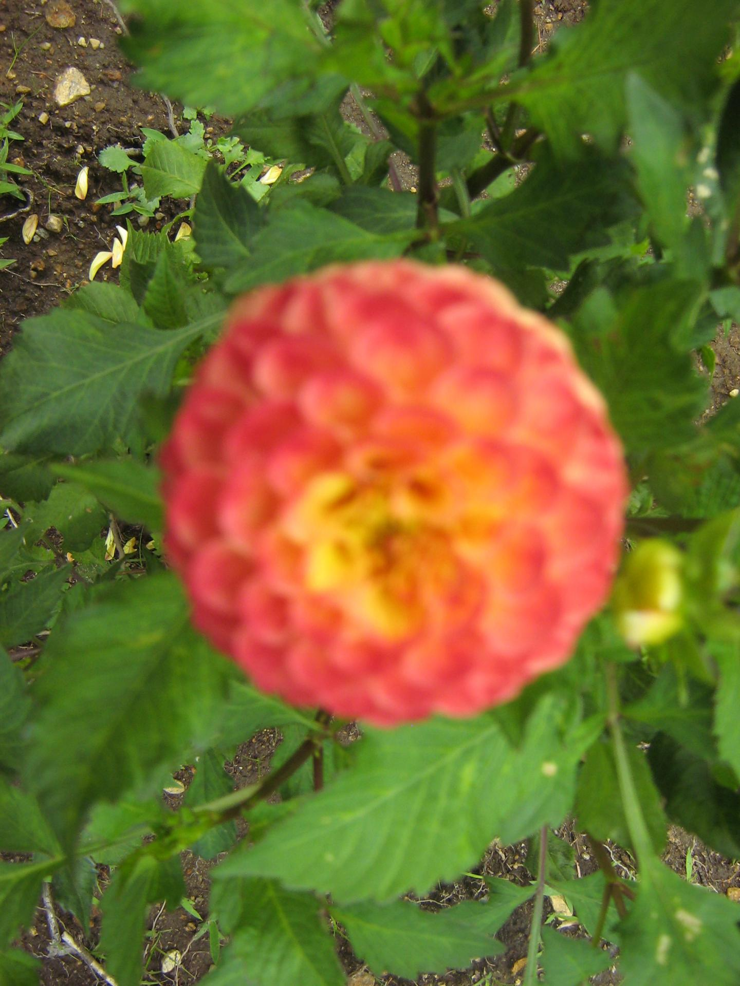 Dahlia Ginger Willo