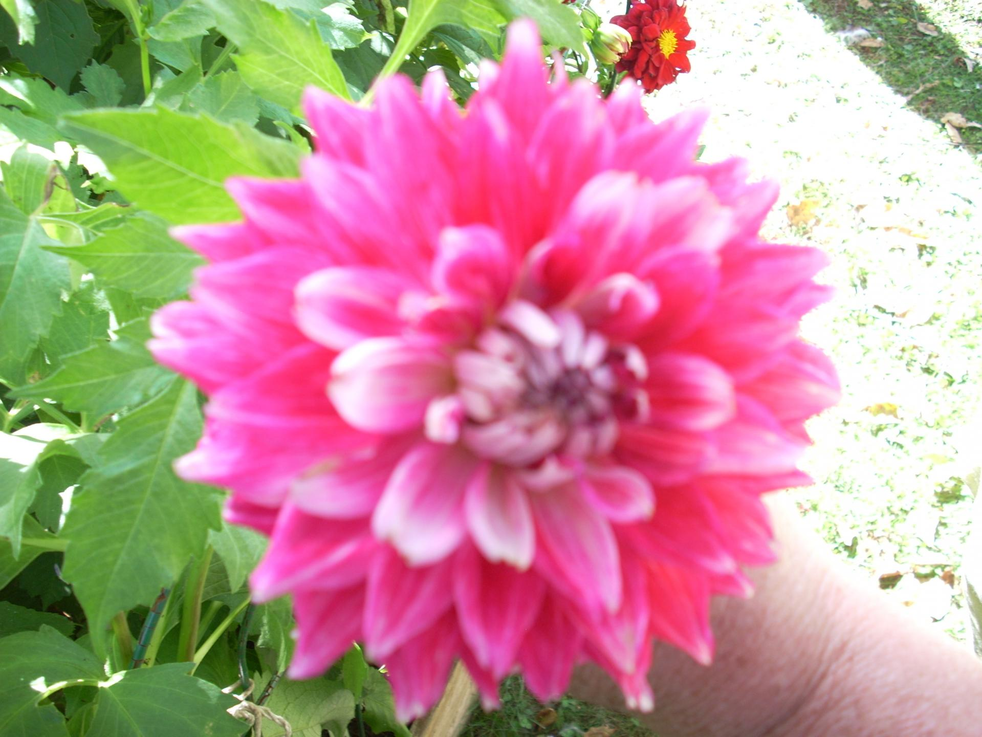 Dahlia Just Peachy
