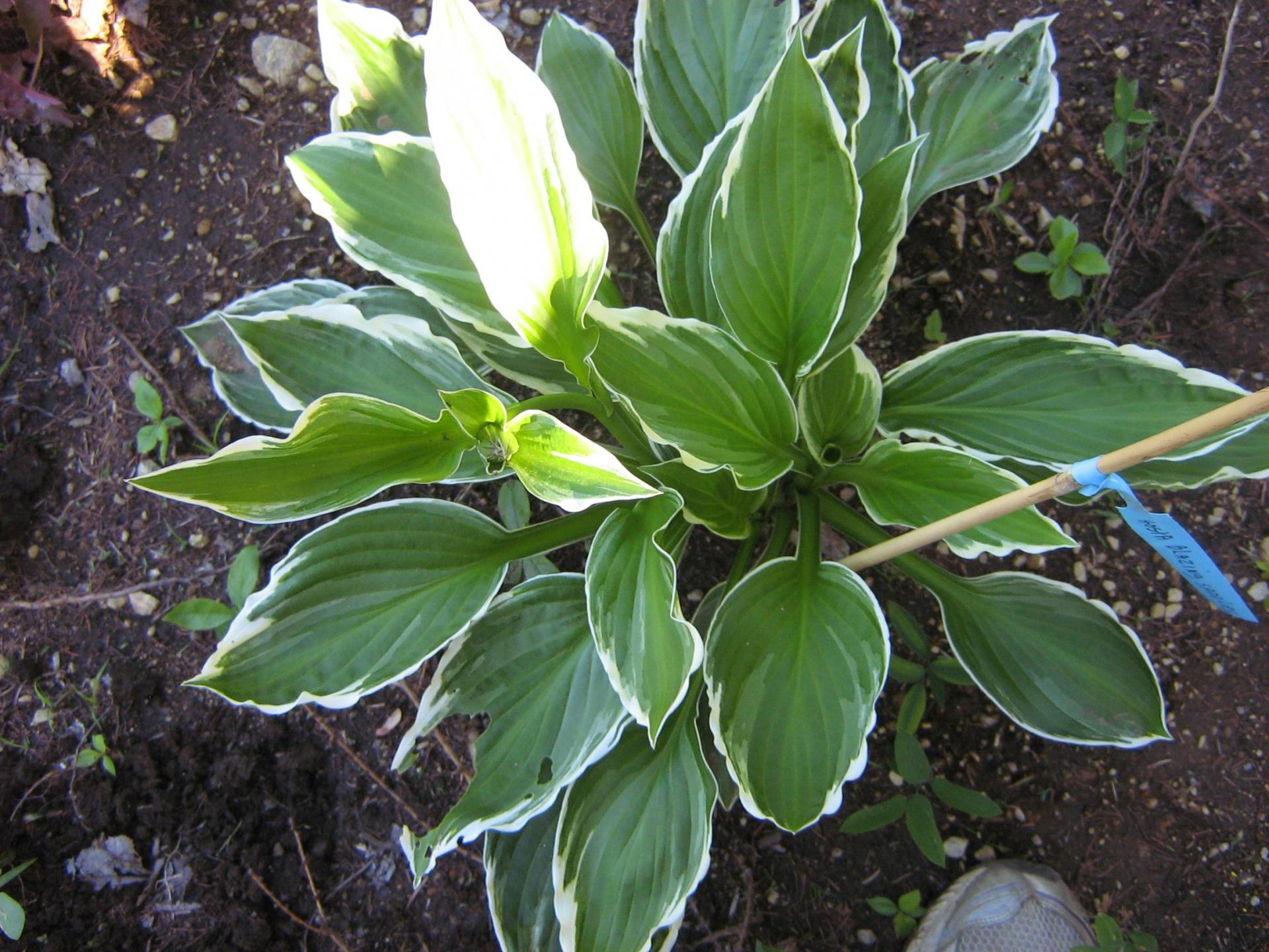 Hosta Blazing Saddles