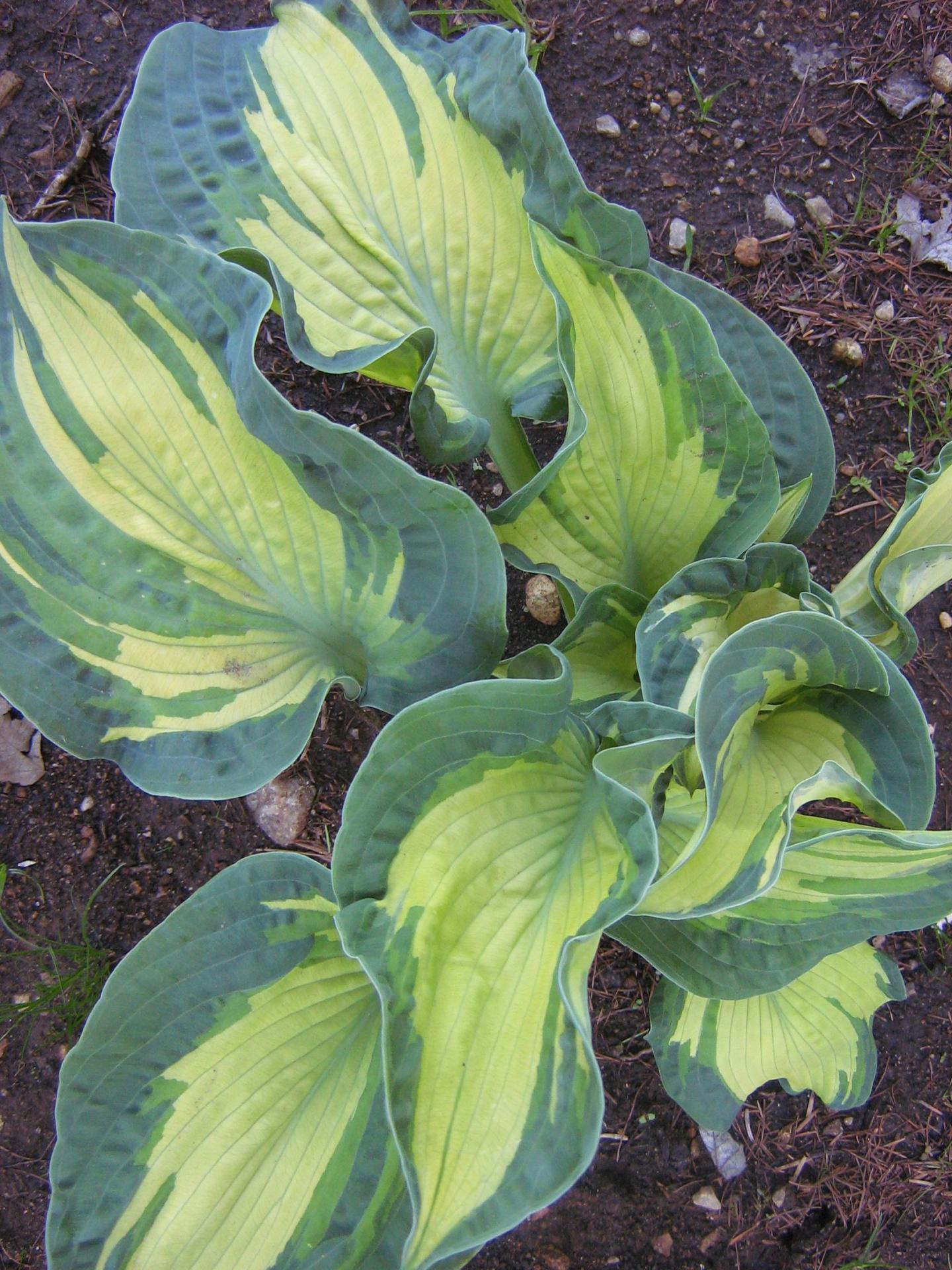 Hosta Golden Meadows