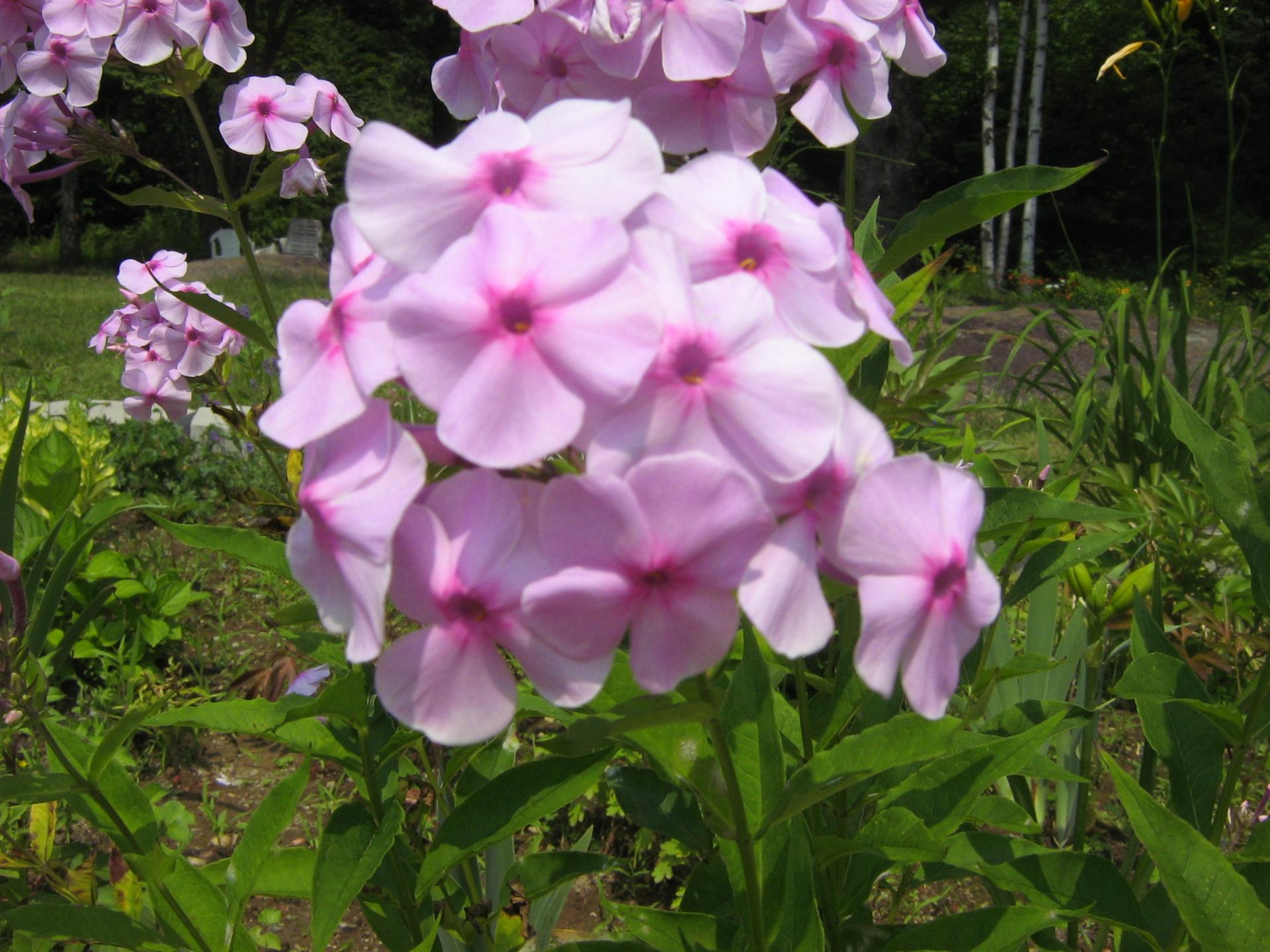 Phlox Paniculé Miss Pepper (Rose Pâle)