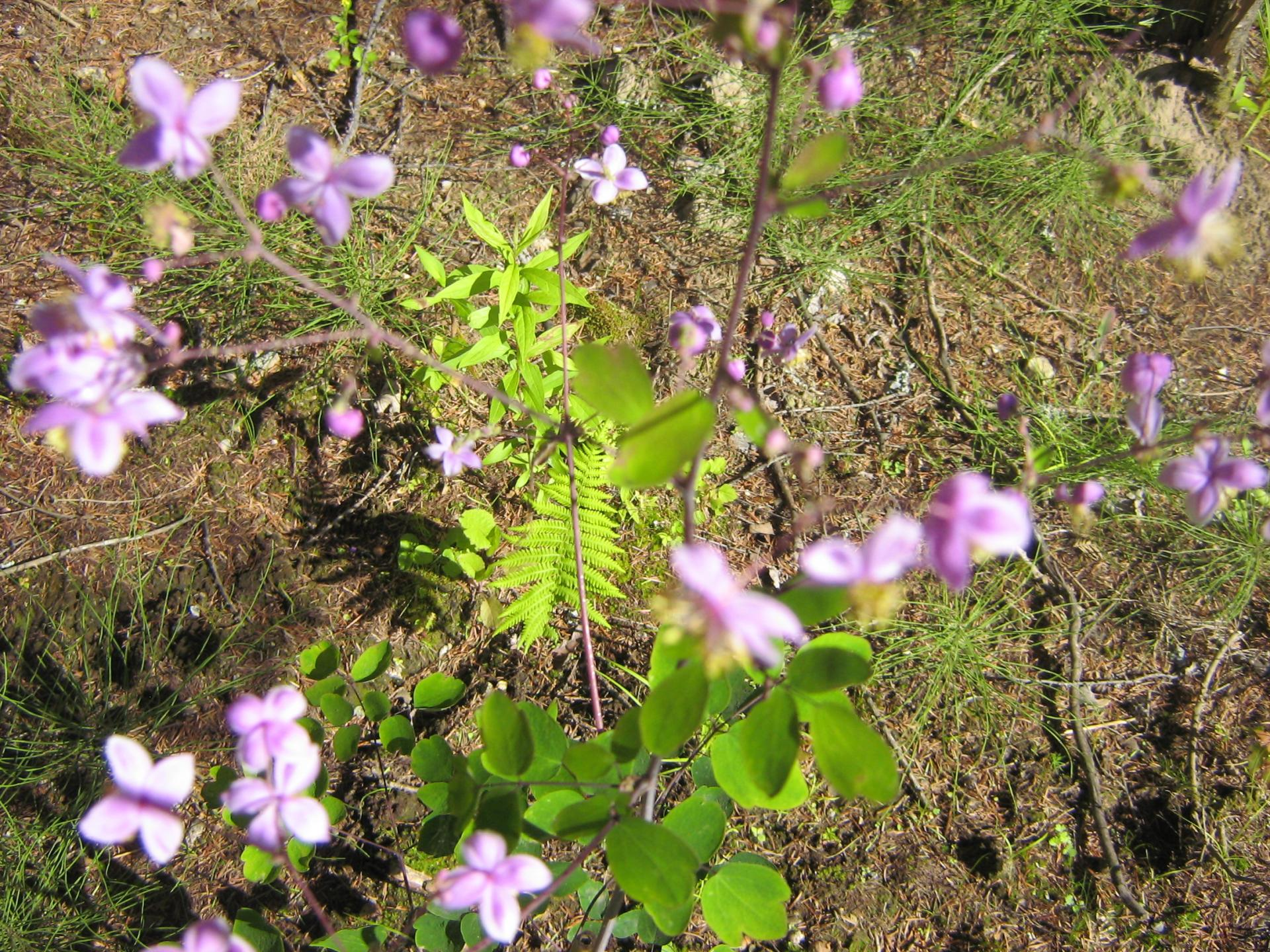 Rue Pigamon Lavender Twist (Meadow Rue)