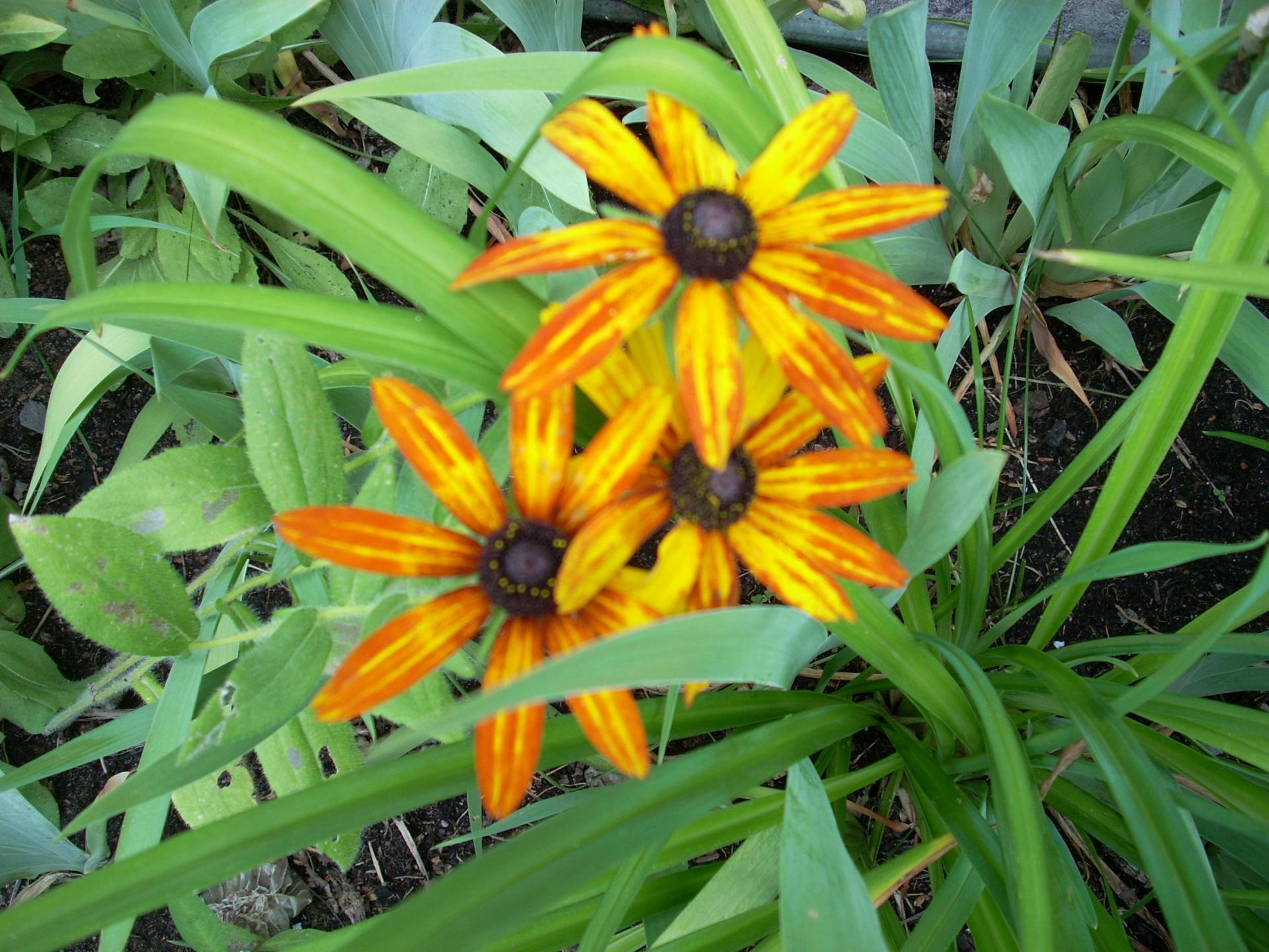 Rudbeckie Black Eyes Susan